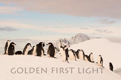 Chinstrap Penguin, Orne Islands, Antarctica