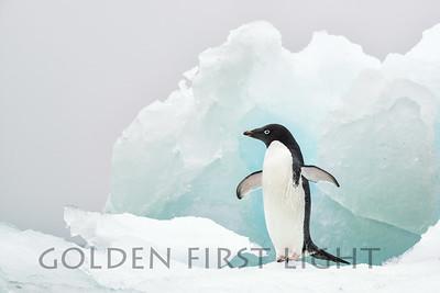 Adelie Penguin, Brown Bluff, Antarctica