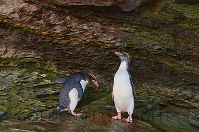 Macaroni Penguin, Cooper Bay, South Georgia