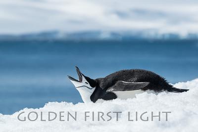Chinstrap Penguin, Half Moon Bay, South Shetland Islands