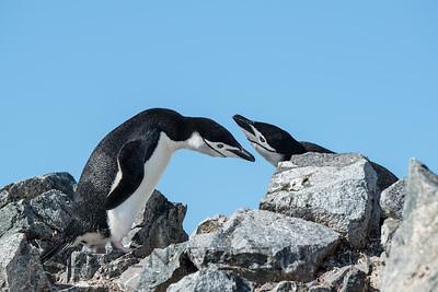 Chinstrap Penguins, Half Moon Bay, South Shetland Islands