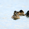 ring-necked duck_1375