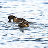 ring-necked duck_1362