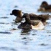 ring-necked duck_1384