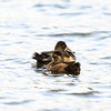 ring-necked duck_1369