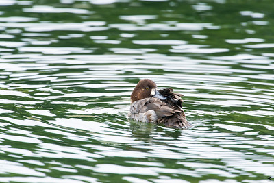greater scaup_9618