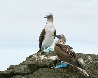 Blue-footed Booby, Glapagos