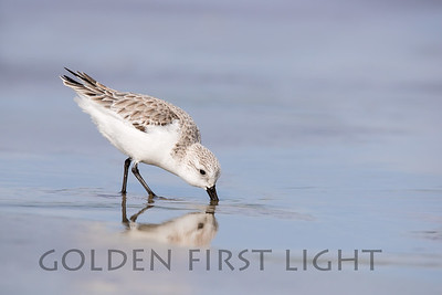 Sanderling, California