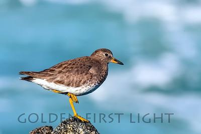 Surfbird, Moss Landing