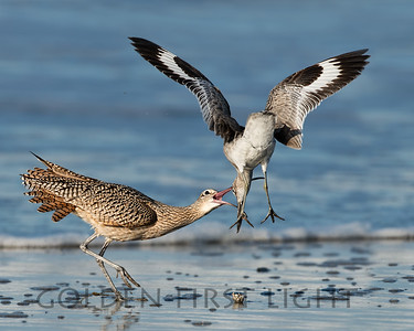 Long-billed Curlew and Willet,  Morro Bay California