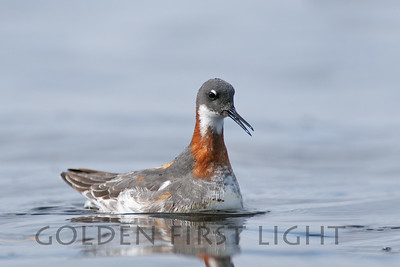 Red-necked Phalarope, Malheur National Wildlife Refuge
