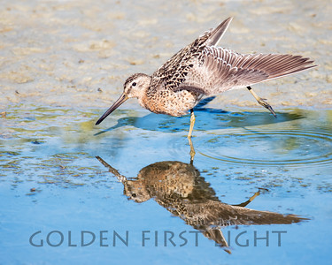 Short-billed Dowitcher, Alaska