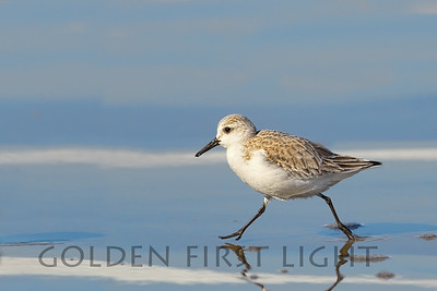 Sanderling, Morro Bay California
