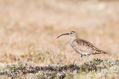 Bristle-thighed Curlew, Nome Alaska