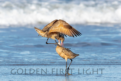 Marbled Godwit Fight, Morro Bay CA