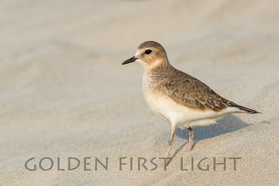 Mountain Plover, Newport Oregon