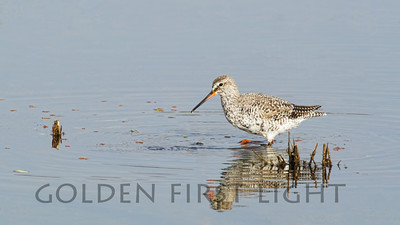 Common Redshank, India