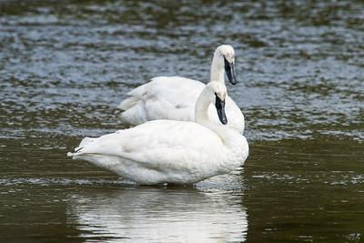 trumpeter swan_0357
