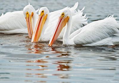 white pelican_6810