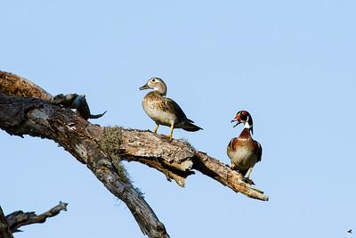 wood duck_3314