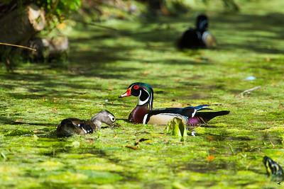 wood duck_3102