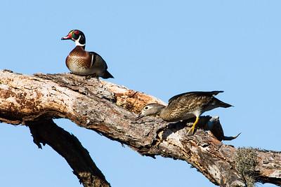 wood duck_3373