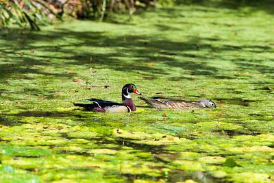 wood duck_3147