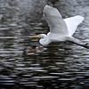 Flying snowy egret