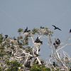 Cormorants in a bird rookery