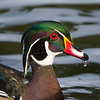Dripping wood duck