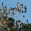 A tree full of Cormorants