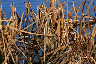 American Bittern camouflaged in the reeds.