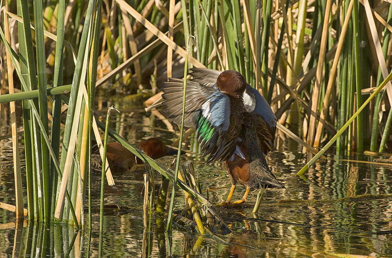 Flapping cinnamon teal