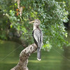 Anhinga sits on a post in the water