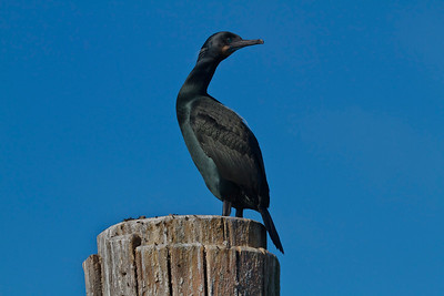 Brandt's Cormorant in breeding plumage.