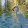 Egret with snack