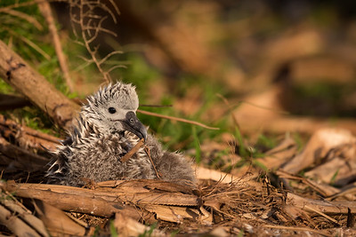 A Laysan Albatross Chick Playing with Nesting Material