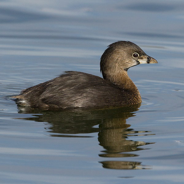 Pied-billed grebe enjoying Reid park