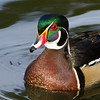Wood duck coming forward