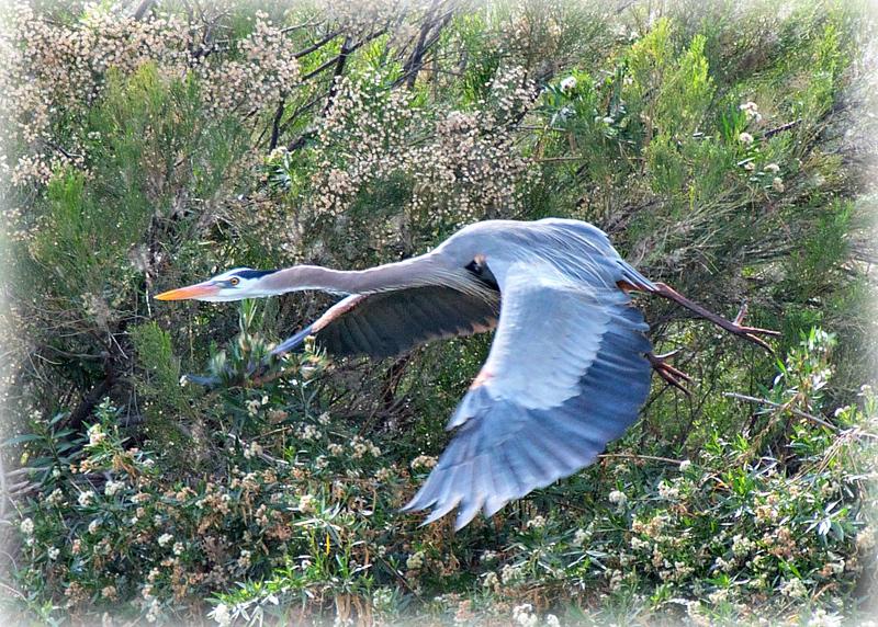 """Majestic Flight"" - Great Blue Heron at Gilbert Water Ranch."