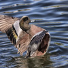 Flapping American wigeon