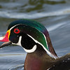Calling wet wood duck