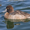 Female lesser scaup posing