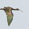 Black Kite or Fork- tailed Kite (Milvus migrans)