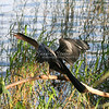 Anhinga dries its feathers on a tree limb