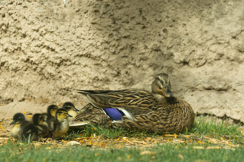 Mallard mother with brood