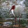 White Ibis in the water