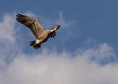 Nene (Hawaiian Goose) in Flight