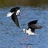 Black-winged Stilts (Himantopus himantopus)