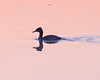 Red-necked Grebe at dawn